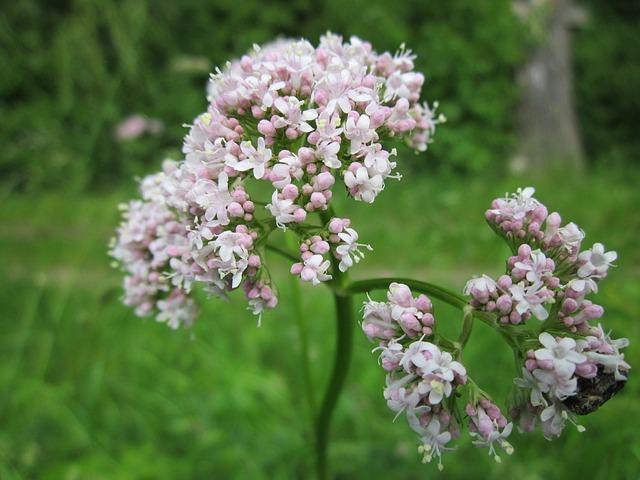 valeriana officinalis ili odoljen