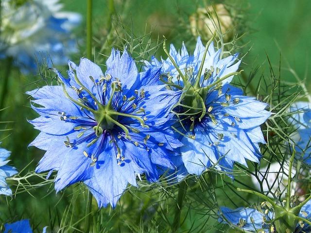 Čurekot cvijet