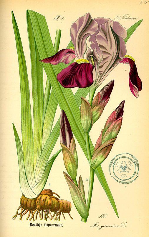 Iris ili perunika